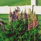 """""""Lupins"""" - 8x10 - Original Color Photo - signed"""
