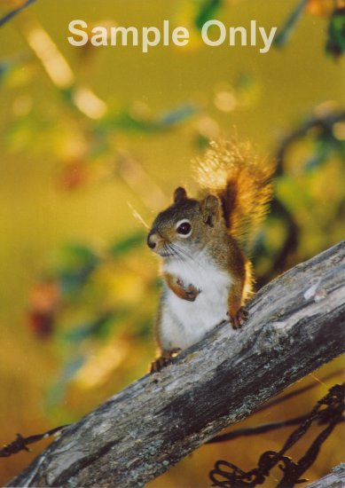 """The Squirrel"" - 8x10 - Original Color Photo - signed"