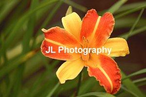 """""""Starburst"""" - 5x7 - Original Floral Color Photo - signed"""