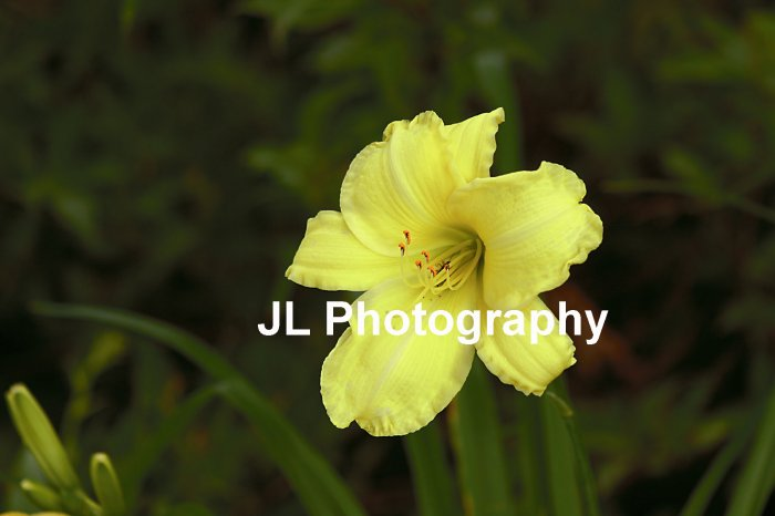"""Mellow Yellow"" - 5x7 - Original Floral Color Photo - signed"