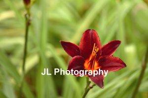 """Crimson Queen"" - 5x7 - Original Floral Color Photo - signed"