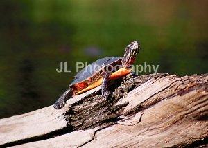 """Painted Turtle"" - 5x7 - Original Color Photo - signed"