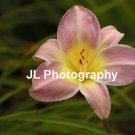 """Pink Lady"" - 8x10 - Original Floral Color Photo - signed"
