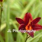 """Crimson Queen"" - 8x10 - Original Floral Color Photo - signed"