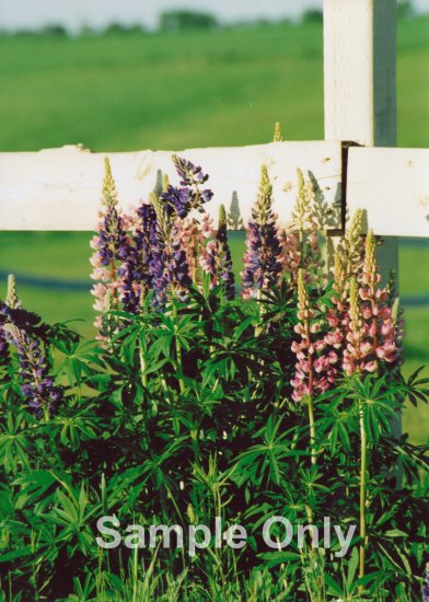 """Lupins"" - 5x7 - Original Color Photo - signed"