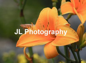 Set of 4 - Photo Cards - Lilies - Color 5x7