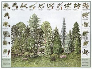 Pinecone & Conifer ID Poster ~ Eastern US