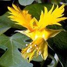 Nasturtium (Tropaoleum) Rare Canary Bird Vine-10 + Seeds