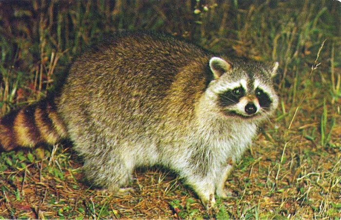 Vintage Wildlife Postcard ~ RACOON ~ Chrome ~ UNU