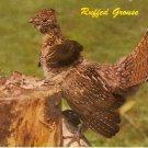 Vintage Wildlife Postcard ~ Ruffed Grouse~ Chrome ~ UNU