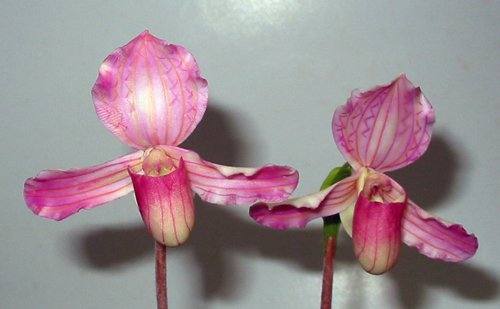 Handmade Lady Slipper Orchid Pink Flowers for Home Decor