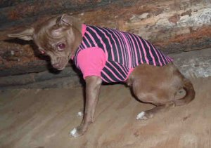 HOT PINK STRIPES T-SHIRT FITS T-CUP SIZE DOG FREE USA SHIPPING