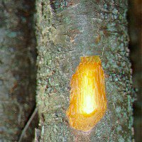 Buckthorn bark powder 1 Pound