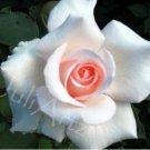 THE ROSE - photographic art - 8 x 10 photographic print