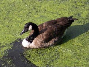 PRINCESS-Photographic Art-Nature-Geese-Scenic-lake-Decor-Wall Hanging
