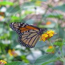 Monarch Butterfly - 12002 - 8x10 Photo