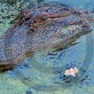 Crocodile - 12016 - 11x17 Framed Photo