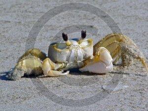 Ghost Crab- Ocypoda - 12020 - 11x17 Framed Photo