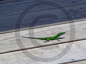 Anole � Anolis - 12021 - 8x10 Framed Photo