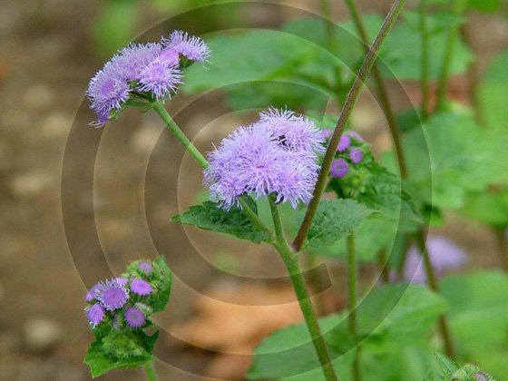 Ageratum Effect ( Ageratum houstonianum ) - 9002 - 8x10 Photo