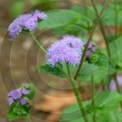 Ageratum Effect ( Ageratum houstonianum ) - 9002 - 8x10 Framed Photo