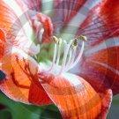 Amaryllis ( Hippeastrum ) - 9007 - 11x17 Framed Photo