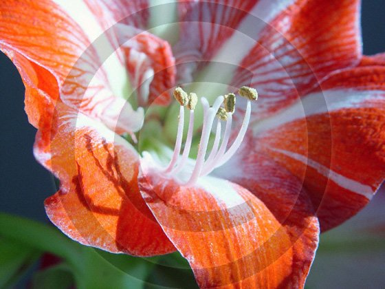 Amaryllis ( Hippeastrum ) - 9007 - 8x10 Framed Photo