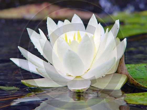 And The Lord Speaks - Water Lily - 9008 - 8x10 Photo