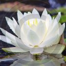 And The Lord Speaks - Water Lily - 9008 - 11x17 Framed Photo