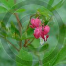 Bleeding Heart ( Dicentra spectabilis ) - 9015 - 8x10 Framed Photo