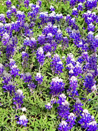 Texas Blue Bonnet ( Lupinus texensis ) - 9017 - 8x10 Photo