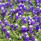 Texas Blue Bonnet ( Lupinus texensis ) - 9017 - 8x10 Photo