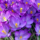 Crocus ( Iridaceae ) - 9032 - 8x10 Framed Photo