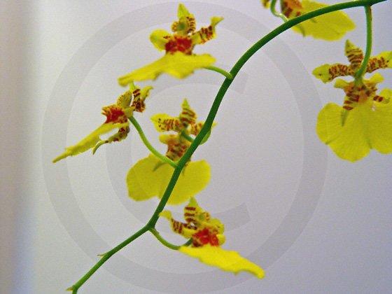 Dancing Ladies ( Oncidium reflexum ) - 9035 - 11x17 Photo