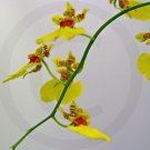 Dancing Ladies ( Oncidium reflexum ) - 9035 - 11x17 Photo