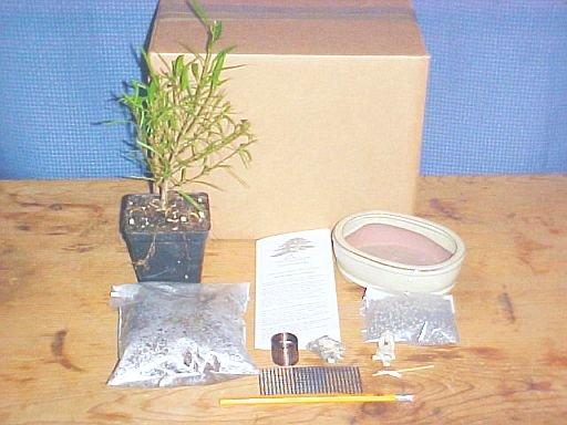 Ficus Nerifolia Bonsai Tree Kit