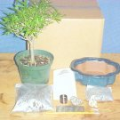 Large Ficus Nerifolia Bonsai Tree Kit