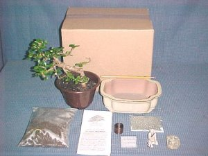 Large Fukien Tea Bonsai Tree Kit