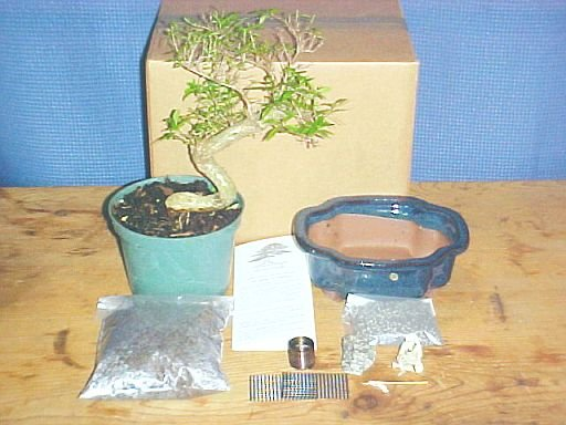 Large Serissa Bonsai Tree Kit