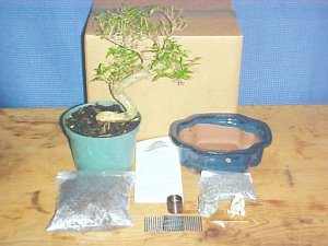 Large Serissa Bonsai Tree Kit