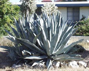 Agave - Century Plant