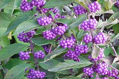 French Mulberry - Beautyberry