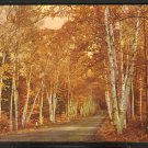 GOLDEN BIRCH TREES LINING SHELBURNE MEMORIAL HIGHWAY WHITE MOUNTAINS NEW HAMPSHIRE 828