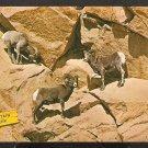3 ROCKY MOUNTAIN SHEEP IN NATURAL HABITAT 920
