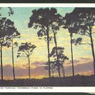 A Beautiful Sunrise Through Caribbean Pines In Florida White Border Postcard 1143