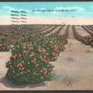 An Orange Grove in Sunny Florida Linen Postcard 1173