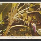 Banana Tree Showing Bud & Fruit Sarasota Jungle Gardens Florida Postcard 306