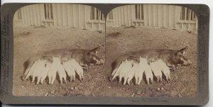 Antique Stereoview Mama Pig and Nursing Piglets Underwood & Underwood