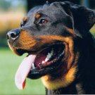 1000+ Rottweiler dog Pictures on CD