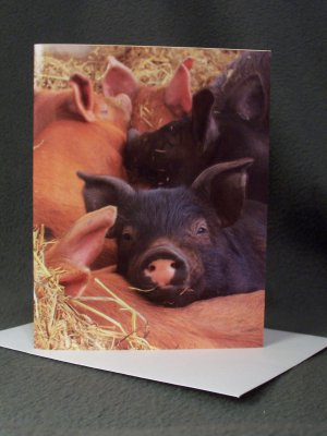 "4 Blank Greeting Cards Notecards- ""Piglet""- Photograph"
